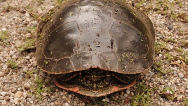 brown turtle